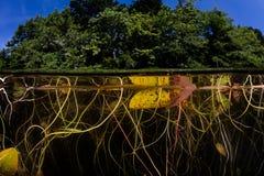 Запутанный Underwater пусковых площадок лилии в озере треска накидки Стоковые Изображения RF