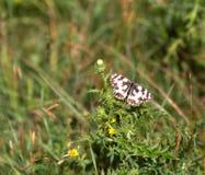 запятнанная бабочка Стоковые Изображения