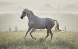 Запятнанная белая лошадь бежать через луг стоковые изображения rf