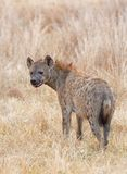 Запятнанная гиена - выноситель африканской саванны бродя в длинной сухой траве - национальный парк Hwange, Зимбабве стоковые фотографии rf