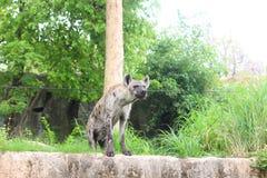 Запятнанная гиена в открытом зоопарке Стоковое Изображение RF