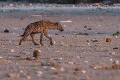 Запятнанная гиена в редком ландшафте стоковая фотография rf
