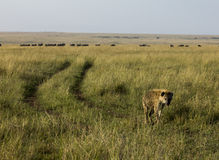 Запятнанная гиена Кения Африка Стоковая Фотография RF