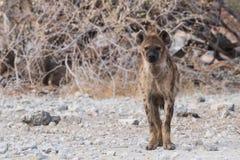 Запятнанная гиена смотря в камеру Стоковые Фото