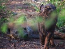 Запятнанная гиена с щенком Стоковые Фото