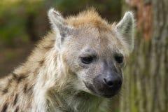 Запятнанная гиена Стоковое Изображение