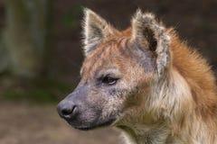 Запятнанная гиена Стоковое фото RF