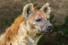 Запятнанная гиена Стоковые Фотографии RF