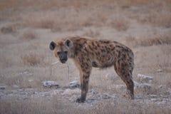 Запятнанная гиена Стоковое Изображение RF
