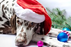 Запятнанная далматинская собака в шляпе Нового Года против белого backgrou стоковые изображения rf