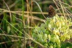 Запятнанная деревянная бабочка в озере Texoma, Техасе стоковое фото
