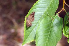 Запятнанная деревянная бабочка, aegeria Pararge стоковые изображения rf