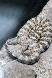 запятнанная змейка трещотки Стоковая Фотография RF