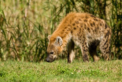 Запятнанная гиена Стоковые Изображения RF