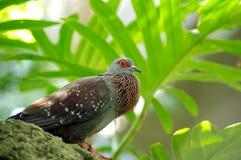 Запятнанная колумба Гвинея голубя с сопенным вверх горлом стоковое фото