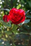 Запятнанная красная роза на зеленой предпосылке листвы Стоковые Изображения