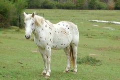 запятнанная лошадь Стоковые Изображения
