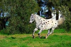 Запятнанная лошадь appaloosa outdoors бежать Стоковое Изображение RF