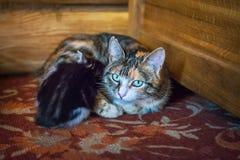 Запятнанная мама кота и черный котенок Стоковое Изображение RF