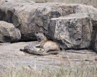 Запятнанная мать и новичок гиены лежа на утесе Стоковые Фото