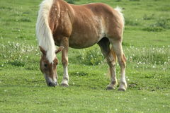 Запятнанная лошадь пася Стоковые Фото