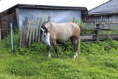 Запятнанная лошадь с белой головой в деревне Стоковое фото RF