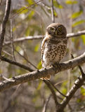 запятнанная перла owlet Стоковая Фотография