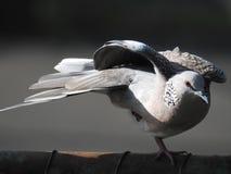Запятнанная птица голубя, Читтагонг Стоковое Изображение