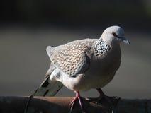 Запятнанная птица голубя, Читтагонг Стоковые Изображения