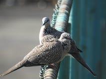 Запятнанная птица голубя, Читтагонг Стоковая Фотография