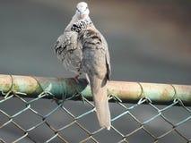 Запятнанная птица голубя, Читтагонг Стоковая Фотография RF