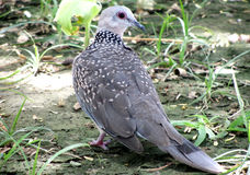 Запятнанная птица голубя, Индия Стоковое Фото
