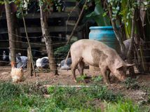 запятнанная свинья Стоковая Фотография RF