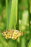Запятнанная сумеречница желтого цвета (macularia Pseudopanthera) Стоковое Изображение RF