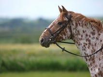 Запятнанная съемка головки лошади Стоковое фото RF