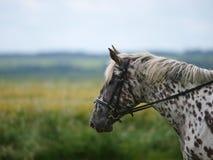 Запятнанная съемка головки лошади Стоковое Изображение