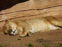Запятнанная львица Стоковая Фотография RF