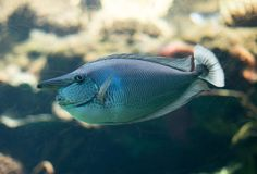 Запятнанное заплывание unicornfish в аквариуме Стоковая Фотография RF