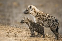 Запятнанное hyaena в национальном парке Kruger, Южной Африке стоковая фотография