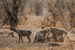 Запятнанное hyaena и поддерживаемый Черно jackal в национальном парке Kruger, стоковое изображение