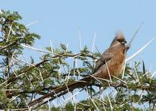 запятнанное mousebird Стоковые Фотографии RF