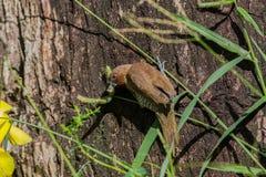 Запятнанное munia собирает семена травы Стоковая Фотография RF