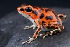 Запятнанное pumilio лягушки/Oophaga дротика Стоковое Изображение