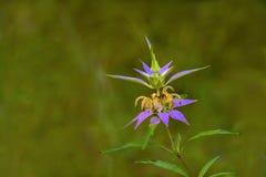 Запятнанное punctata Monarda Пчел-бальзама в цветени стоковые фотографии rf