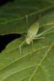 запятнанное punctatissima leptophyes сверчка bush Стоковые Фотографии RF