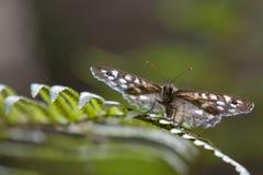 Запятнанные деревянные бабочка, aegeria Pararge, садить на насест на лист папоротника и березы в полесье, августовском, Шотландии стоковые фото