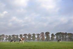 Запятнанные коровы в солнечном луге перед дубами осени Стоковые Фотографии RF