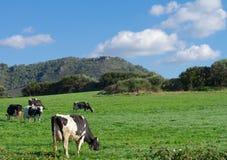 Запятнанные коровы на луге Стоковая Фотография RF