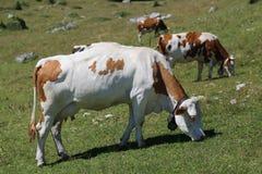 запятнанные коровы пася на зеленом луге горы Стоковое Изображение
