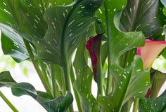 Запятнанные листья лилии Calla с бургундскими & розовыми цветенями Стоковое фото RF